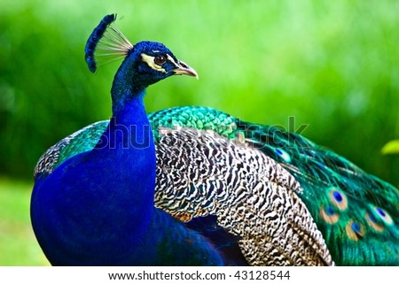 Peacock on the green background - stock photo