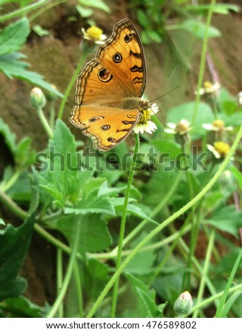 peacock pansy butterfly sitting on grass flower, India