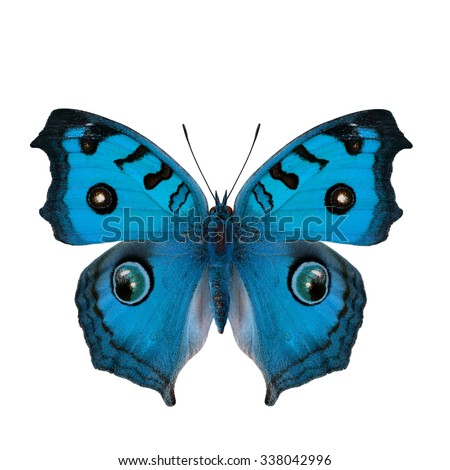 Blue peacock butterfly