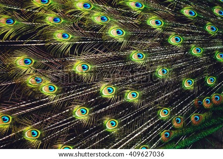 Peacock plumage texture. Beautiful plumage close up. - stock photo