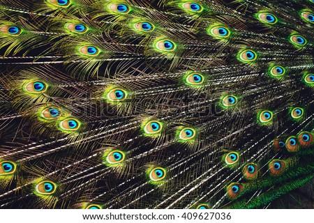 Peacock plumage texture. Beautiful plumage close up. - stock photo