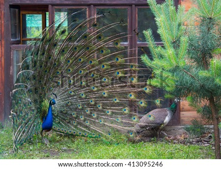 Peacock protects his chicks and peahen - stock photo