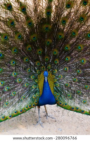 Peacock, Selective Focus, Blur Background, Pattern - stock photo
