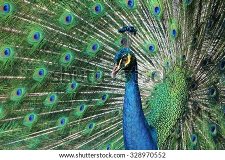 Peacock show of feather - stock photo