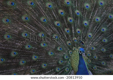 peacock showings its feathers - stock photo