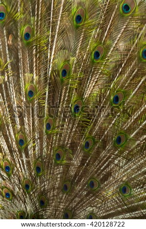 Peacock wing  pattern is beautiful.  - stock photo