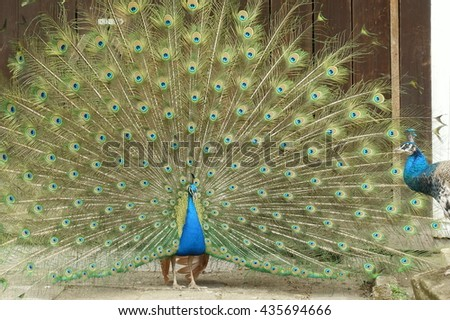 peacock with open tail mating a hen