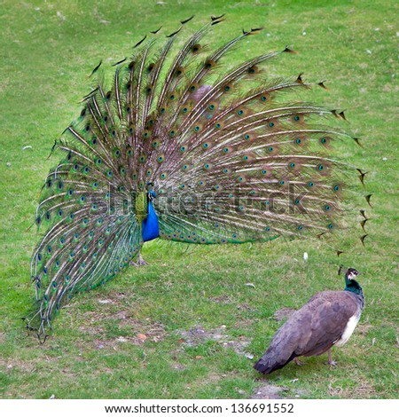 peacock with outstretched plumage with shows near peahen - stock photo