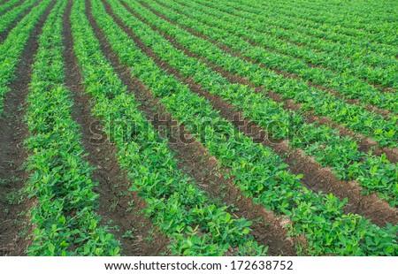 Peanut field. - stock photo