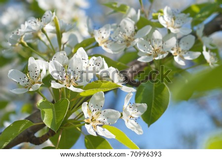 pear Blossom - stock photo