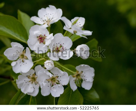Pear blossoms - stock photo