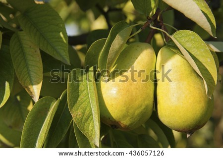 Pear crops on tree with green leaves at sunny day