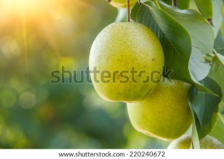 Pear fruit on the tree - stock photo