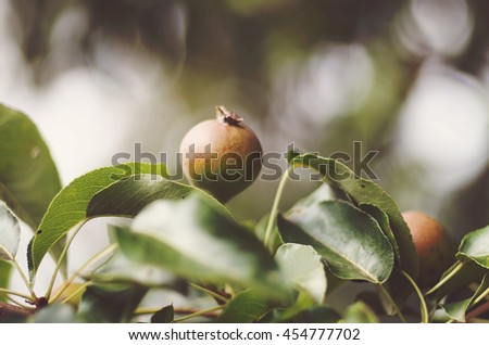 Pear growing on tree in garden. Pear on a branch/Pears grow on pear tree branch with leaves under sunlight close-up. Ripe pears on the tree in nature - stock photo