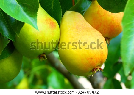 Pear on a branch - stock photo