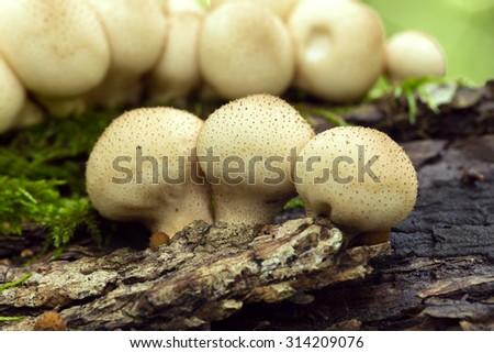 Pear-shaped puffballs, Lycoper pyriformedon growing on wood - stock photo