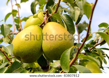 pear tree in sunlight - stock photo