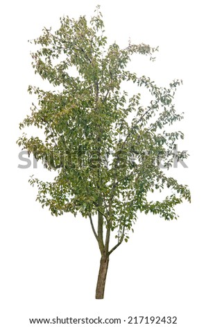 pear tree isolated on white  - stock photo