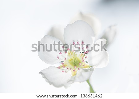 pear tree white flower blurred with white background, close up