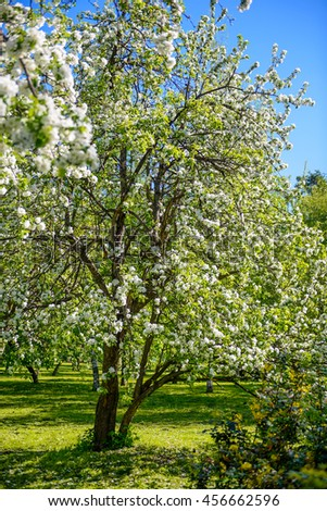 Pear tree white fragrant blossoms beautiful background