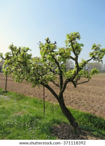 Pear tree with blossoms in a sunny day in Tuscany, Italy