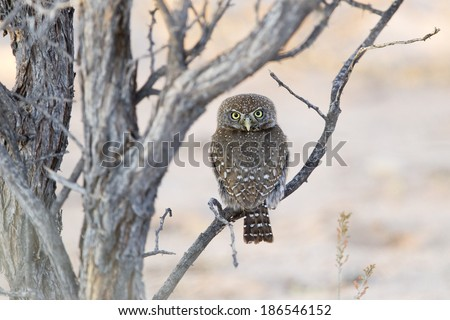 Pearl spotted Owlet (Glaucidium perlatum) perched, with head turned 180 degrees to face the observer. Kalahari Desert, South Africa - stock photo