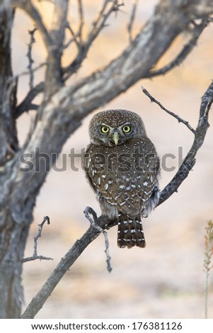 Pearl spotted Owlet (Glaucidium perlatum) perched, with head turned to face the observer. Kalahari Desert, South Africa - stock photo