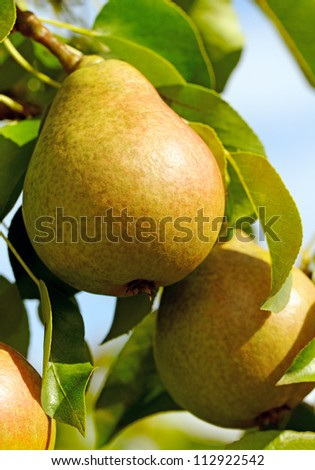Pears are growing on the tree. - stock photo