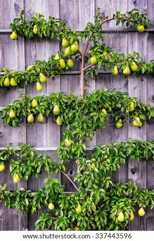 pears at a tree - close-up - stock photo