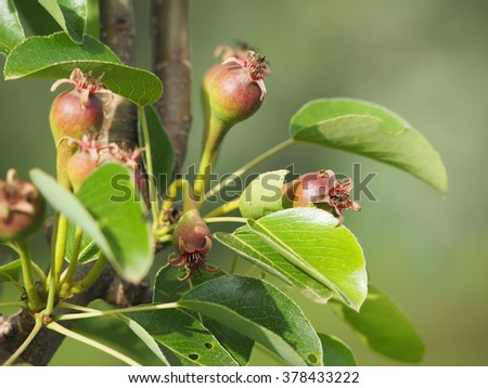 Pears on a tree branch in the garden - stock photo