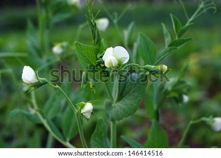 Peas during flowering - stock photo
