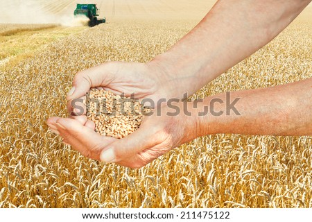 peasant hands hold handful with seeds on wheat field background - stock photo