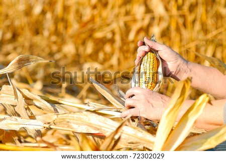 peasant is harvesting a corncobs, manual labour - stock photo
