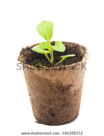 Peat pots with soil and a plant petunia.