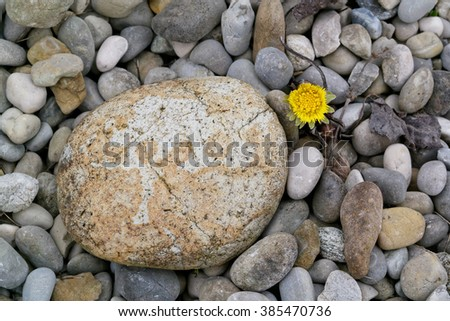 Pebbles and a very early flower in spring, coltsfoot, tussilago farfara - stock photo