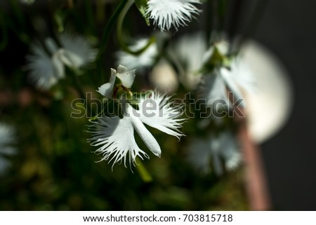 Pecteilis radiata sagiso white egret flower stock photo 703815718 pecteilis radiata sagiso white egret flower white little oechid in summer mightylinksfo