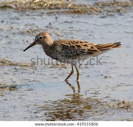 Pectoral Sandpiper (Calidris melanotos) wading in a mud flat - stock photo