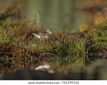 Pectoral Sandpiper Foraging on the Pond in Early Morning