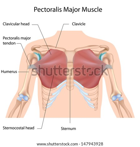 Pectoralis Major Muscle Labeled Stock Illustration 147943928 ...