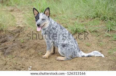 pedigree  Blue heeler puppy. Australian cattle dogs  also known as blue heelers - stock photo