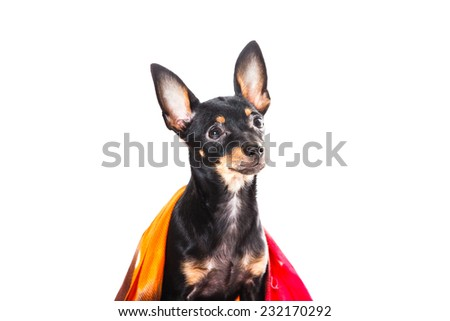 pedigree dog in studio on isolated white, puppy, cute