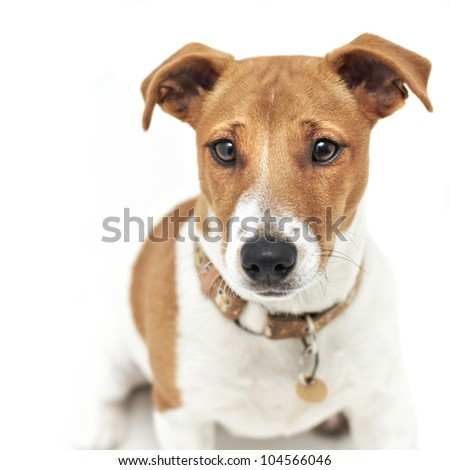 Pedigree Jack Russell Terrier dog - stock photo