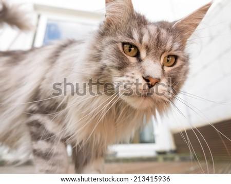 Pedigree maine coon cat - stock photo