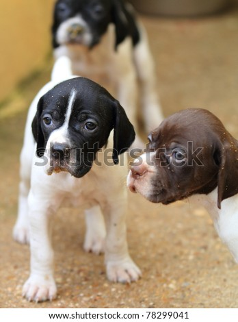 Pedigree Pointer dog puppies with only 1 month of life