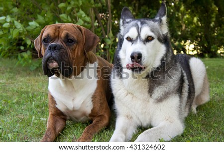 pedigreed, outdoors,brown, gray, white, beautiful, cheerful, funny, large, swim, darling,  autumn, together, several, boxer, malamute, pedigreed, amusing, cute,