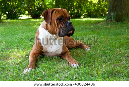 pedigreed, outdoors, nature, grass, white, brown, boxer, summer, breed, green, young,  animals, walks, trees, seasons, black, cute, background, strips, beautiful, one, color, dog,funny, portrait