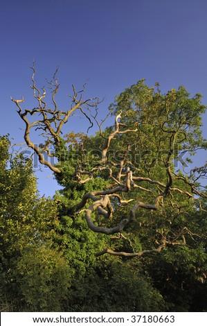 Pedunculate (English) Oak Tree - Quercus robur - stock photo