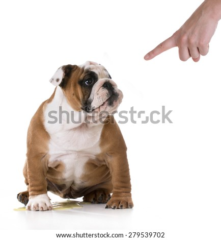 peeing puppy - housetraining a bulldog puppy - 3 months old - stock photo