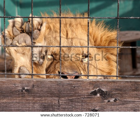 Peeking male lion behind cage at Great Cats of Indiana Wildlife preserve - stock photo