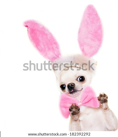 peeping out chihuahua dog in a costume isolated - stock photo